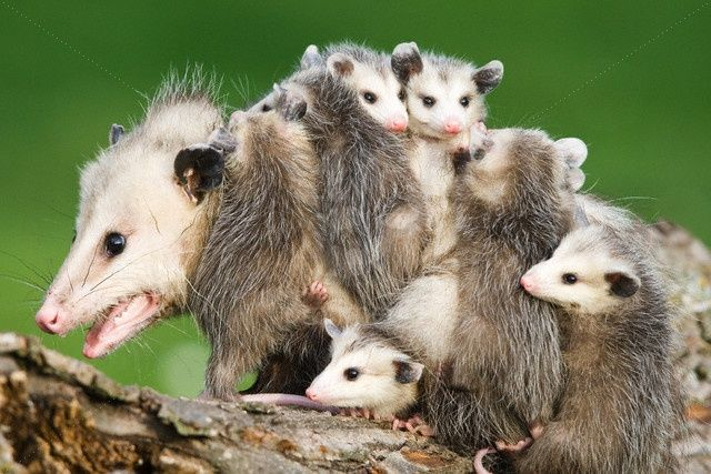 How To Get Rid of Possums