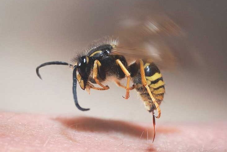 How Can You Avoid Attack by Wasps?